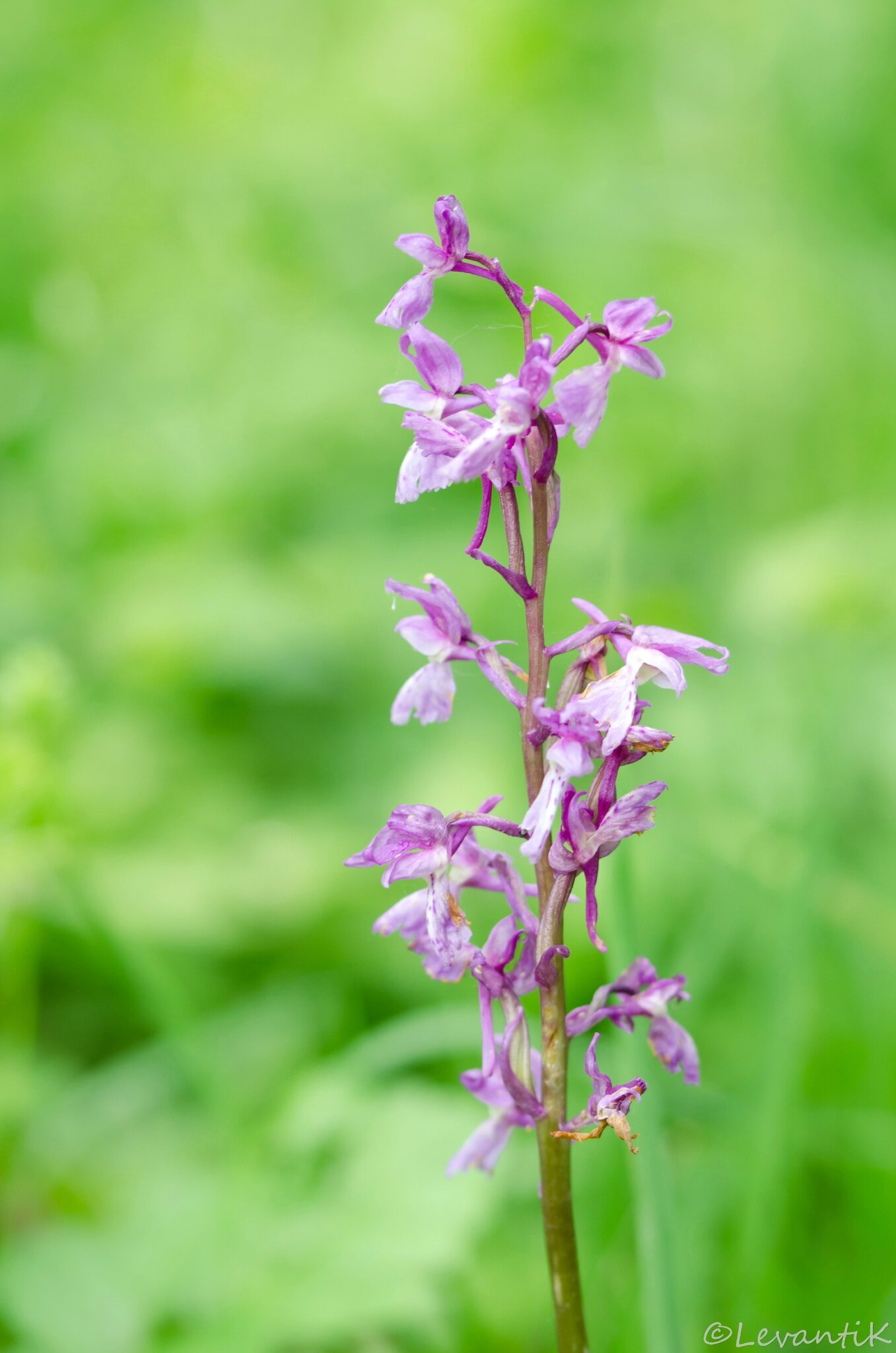 Orchis mâle - Orchis mascula (3)
