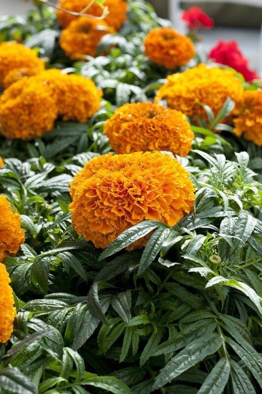 Fleuroselect_marigold_2[1]