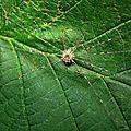 Dicranopalpus ramosus- phalangiidae