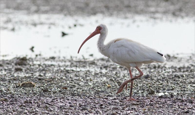 J7 Ensenada 071219 ym 31 oiseau ibis blanc
