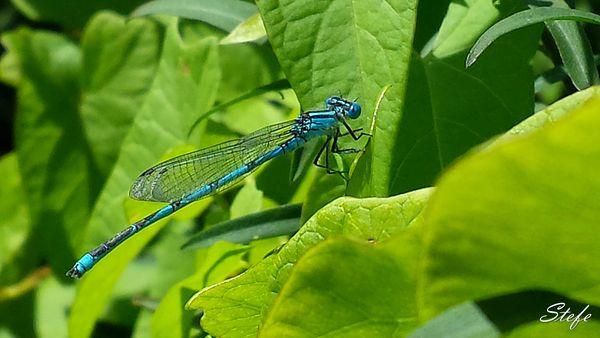 libellelule (2)