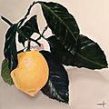 Branche de citron