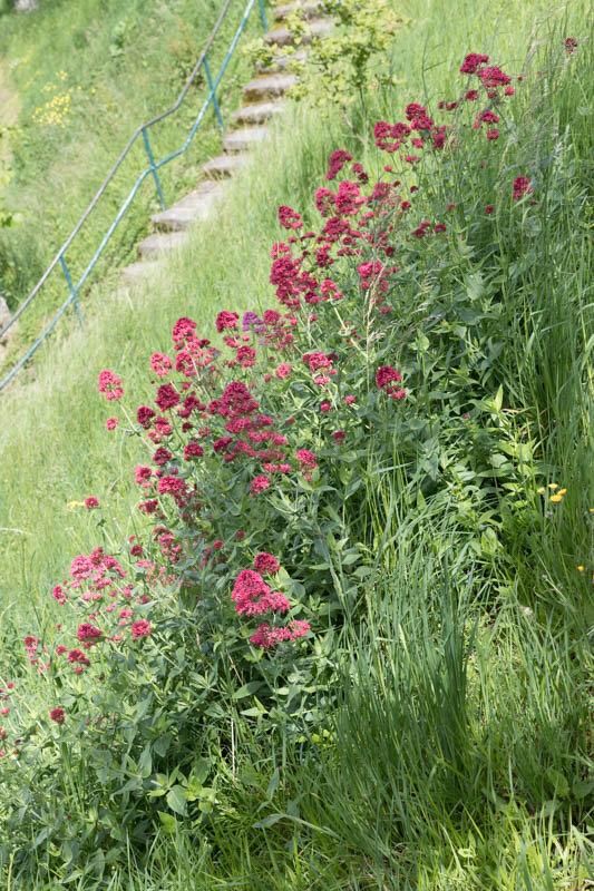 herbes folles et fleurs des champs