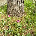 tulipe-careme_1 (9)