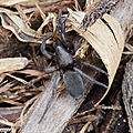 Scotophaeus sp. (probable S.blackwalli)