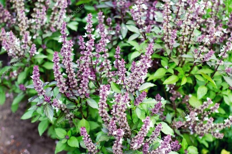 depositphotos_79592752-stock-photo-fresh-basil-purple-flowers