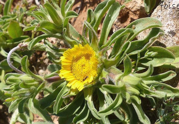fleurs périphériques à ligules jaunes courtes et dentées