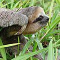 Bradypus tridactylus - Aï