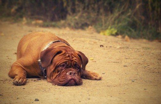 gros chien