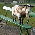 Chèvre • Capra capra • Famille des Bovidés
