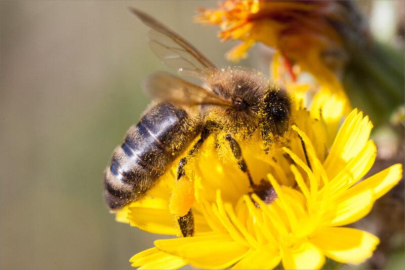 SM fleur abeille 010918 1