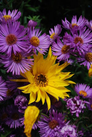 aster_helianthe_1