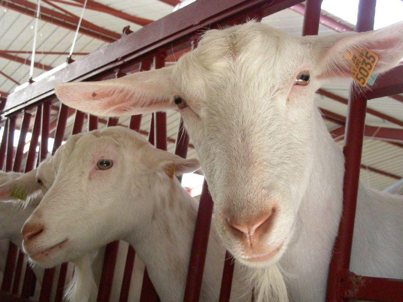 divers chèvres 016