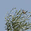 Fauvette grisette (Sylvia communis)