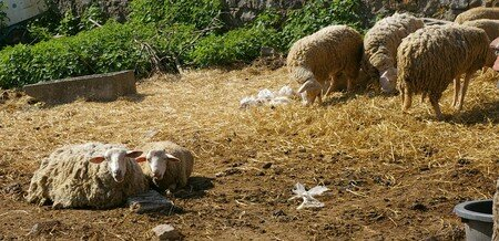 gros_moutons