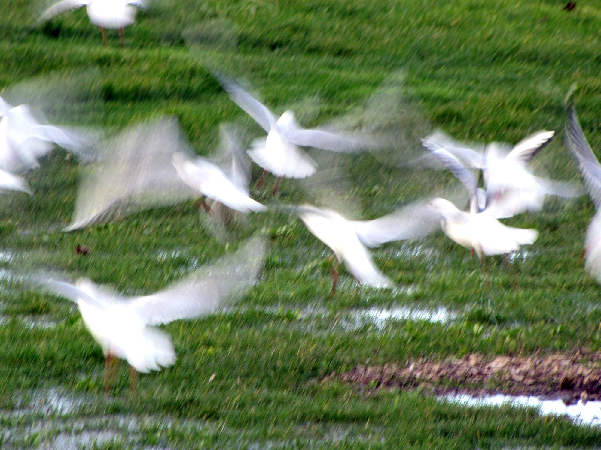 Oiseaux ile de re foto Mo2 (65)-h1500