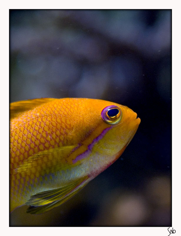 anthias20020802