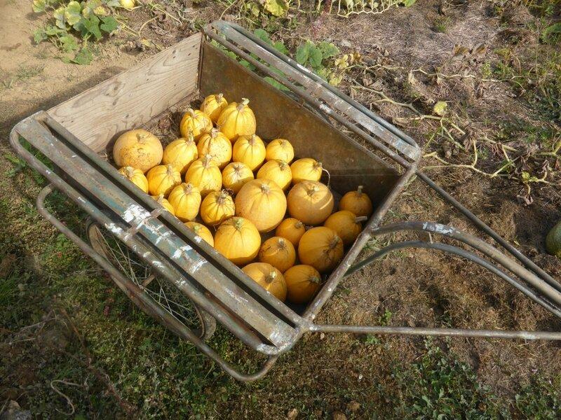 4-courges melonnette jaspée de vendée (3)