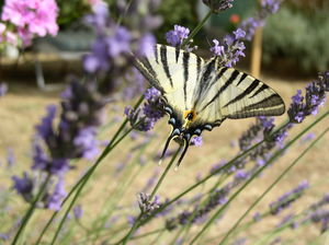 Papillon_ray_