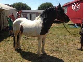 Entier Paint-Horse x Hispano Boulonnais 9 ans - Bouglione - (77)