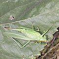 Joli Cricket (15)
