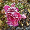 FROID VAY rose1