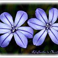 Flore - aphyllante de montpellier