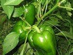 Poivrons__salade__piments_du_jardin_et_Ruby_001