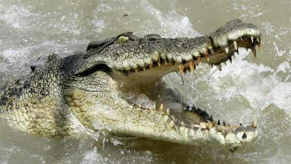 crocodile_afrique
