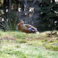 westweg... Glaswaldsee . la cane solitaire (flou :(((