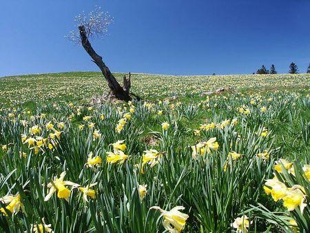 printemps_paysage_jonquilles