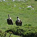 vautours fauve au repas