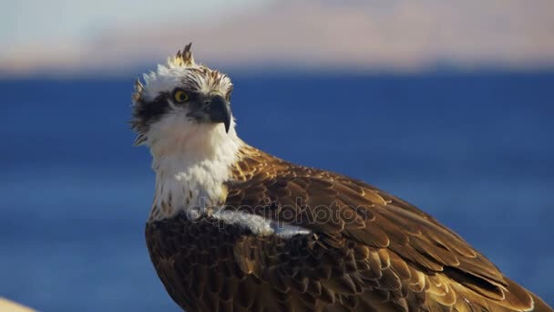 depositphotos_139646032-stock-video-marine-bird-of-prey-osprey
