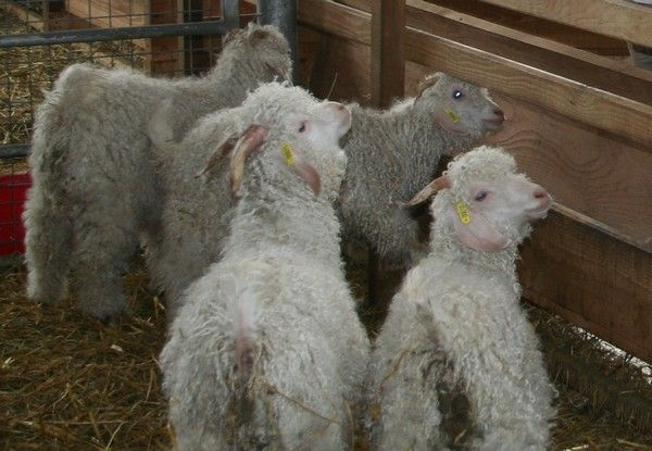 MOUTONS 9