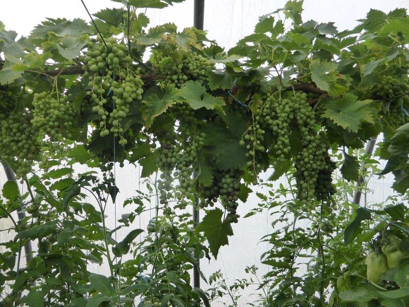 24-raisins (8)