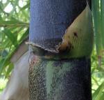 photo 13- oreillette de gaine de chaume de B vulgaris
