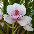 Mes orchidées chéries