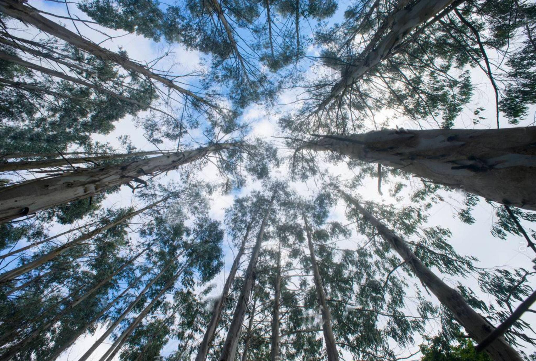 L''eucalyptus, en Espagne, entretient la polémique !