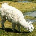9 - Putre à la Bolivie (11) Alpaca