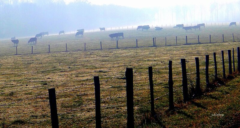 Vaches clotures