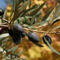 Oliviers - branches d'Olives