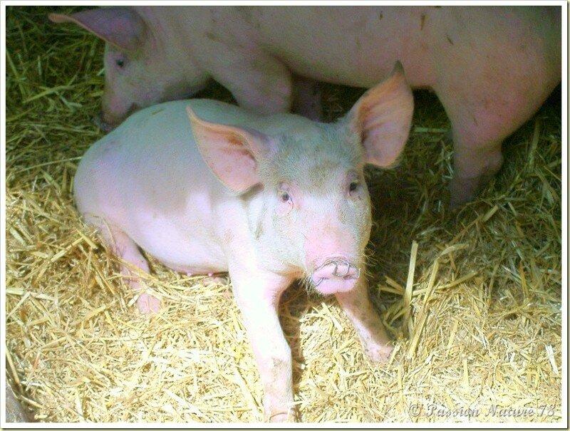 Les porcs et leurs porcelets