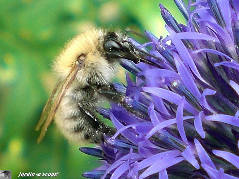Abeille butinant sur une fleur d'Echinops retro