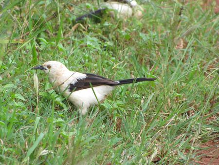 Babbler_Southern_Pied6