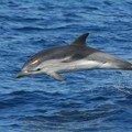 Dauphin bleu et blanc2_Canyon Toulon_0105