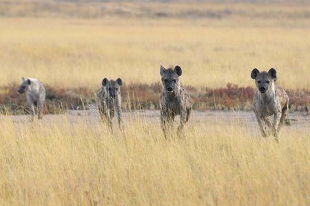 Hyènes tachetées, parc d'Etosha, Namibie