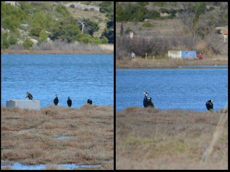 9 cormorants