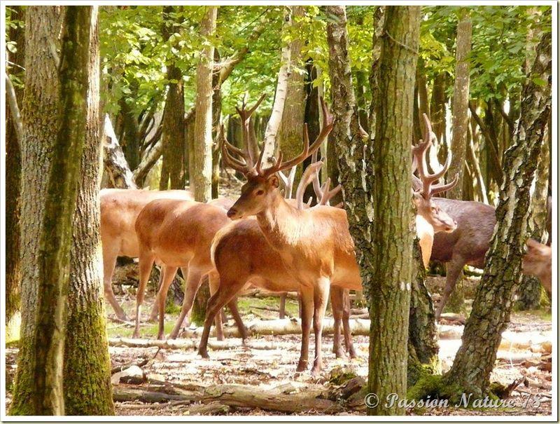 Rencontre avec les cerfs (9)