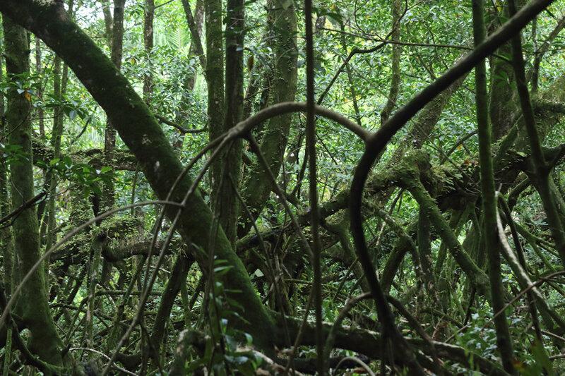 Mangrove des Salines