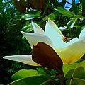 Fleur de magnolia !!